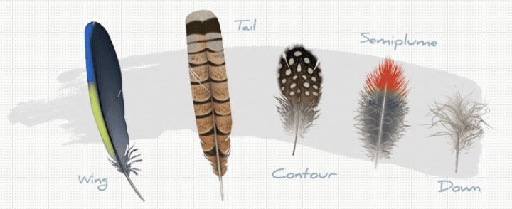Cornell Lab's Bird Biology site has some amazing interactive features, such as this feathers exhibit.